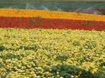 3-שימוש-בחומרי-הדברה-בגידולי-פרחים